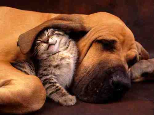 kitty under dogs ear